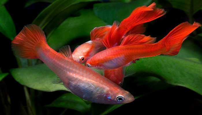 How to Guppy fish breeding in your home aquarium
