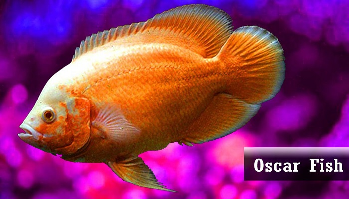 Oscar fish care and Types of Oscar fish Variations