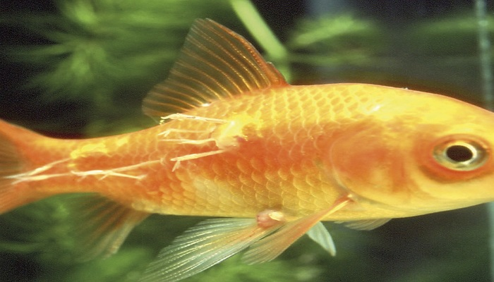 10 common aquarium fish diseases how to treat your for Worms in freshwater fish
