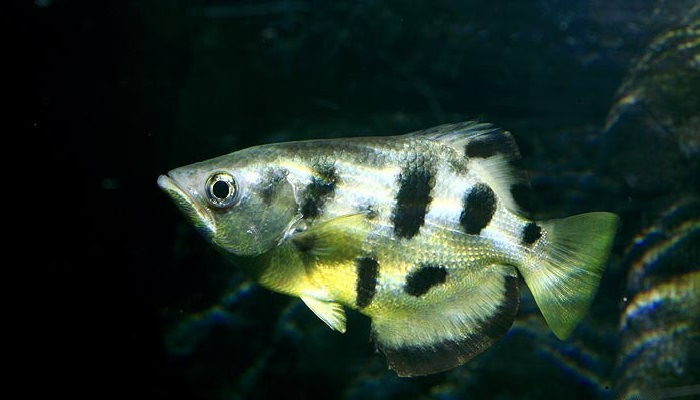 Archer Fish Care-How to care for an Archer Fish Properly?