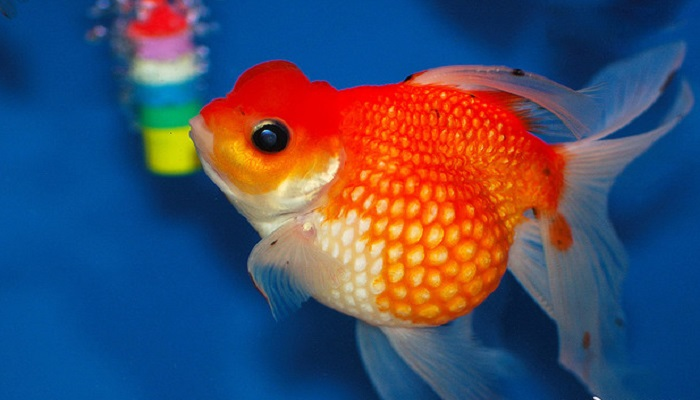 How to Care for a Telescope Fish as a freshwater aquarium fish