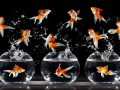 Why are your Goldfish jumping out of your fish tank?
